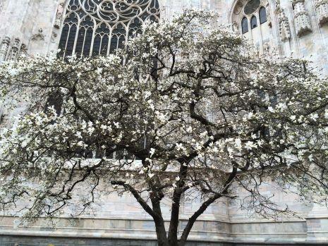 Magnolias en Milán!