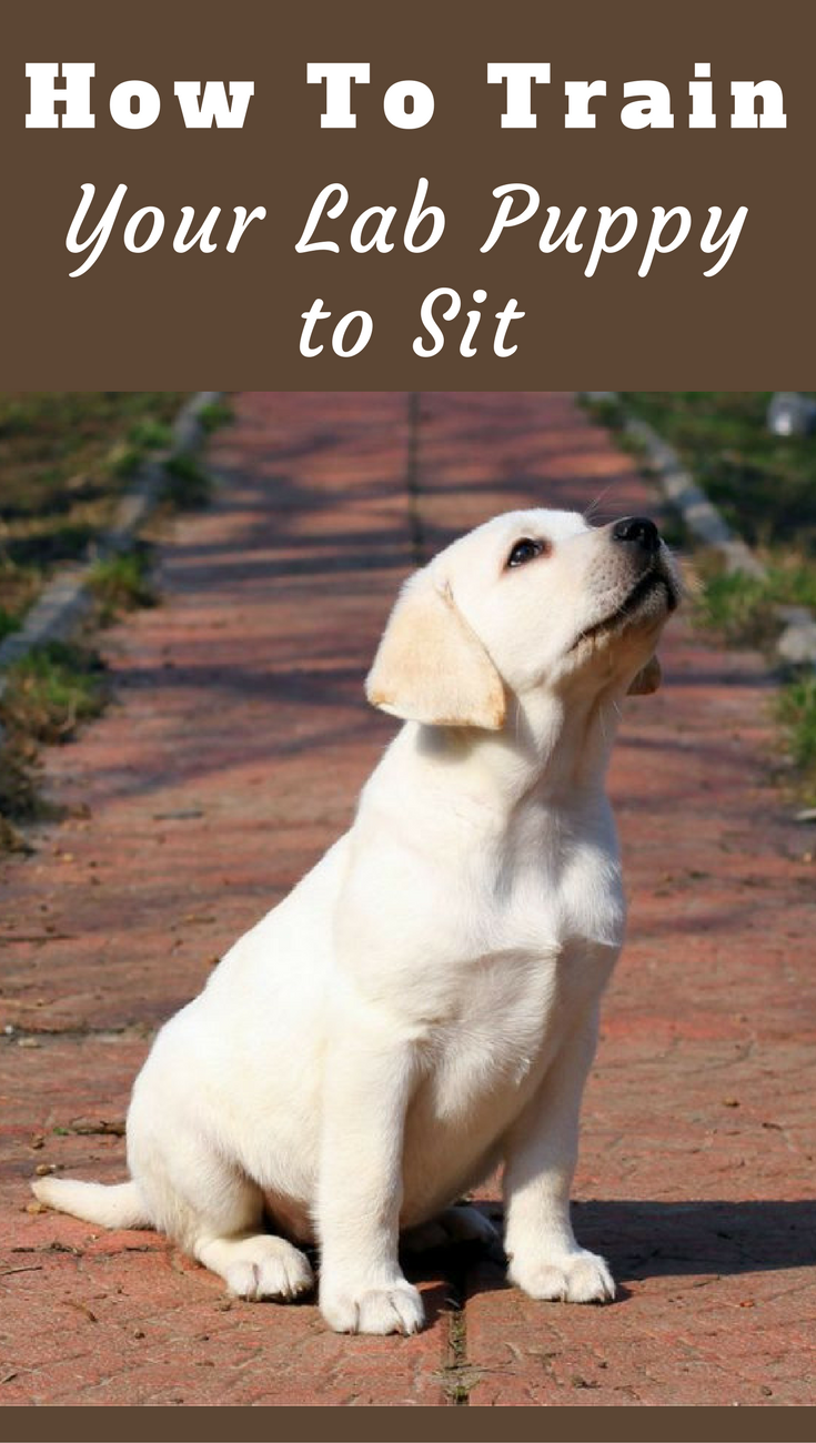 How To Train Your Labrador To Sit Puppies Labrador Puppy Training Dog Training