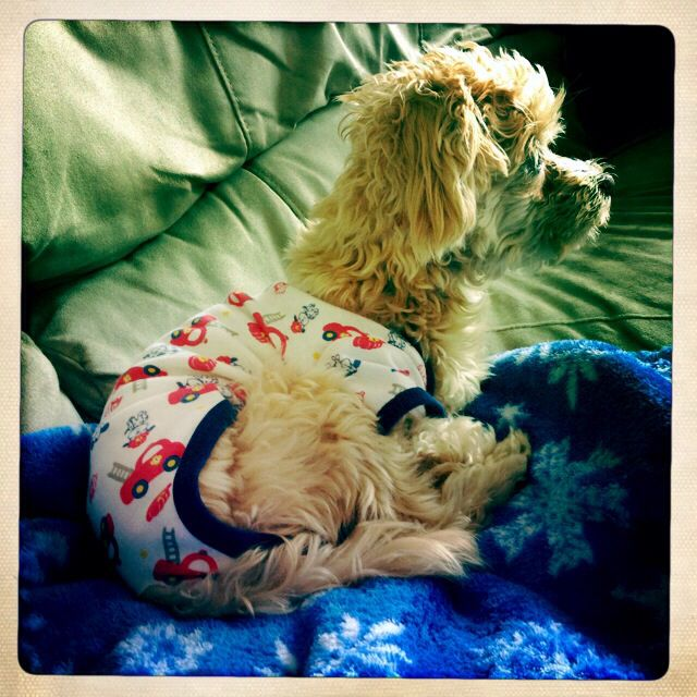 Archer in his post op onesie. #maltipoo #puppy #dog