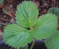 Healing Properties of Strawberry Leaf