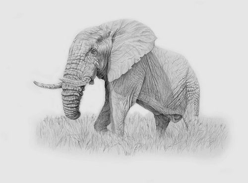 Elephant bull northern kruger park murray ralfe drawn in pencil