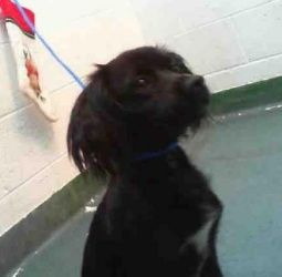 Roxy is an adoptable Dachshund Dog in Pelham, NH. Hi my name is roxy. im a long hair dacshund chihuahua mix. i am about 18 months old and i weigh 13 lbs. the people from this nice rescue saved me from...