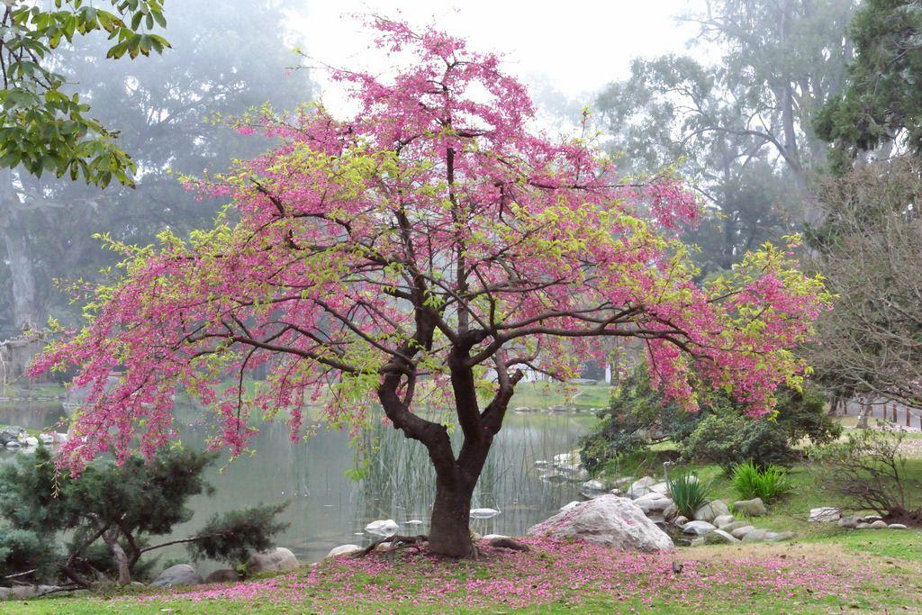Bosque Jardín Flor De Cerezo: Almendro Arbol, Arboles