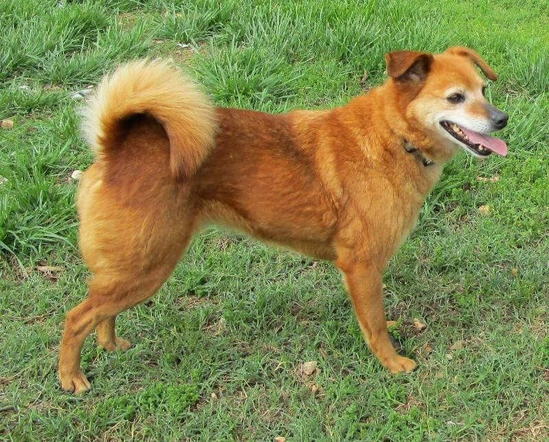 Adopt Ginger P On Corgi Mix Pets Animal Rescue