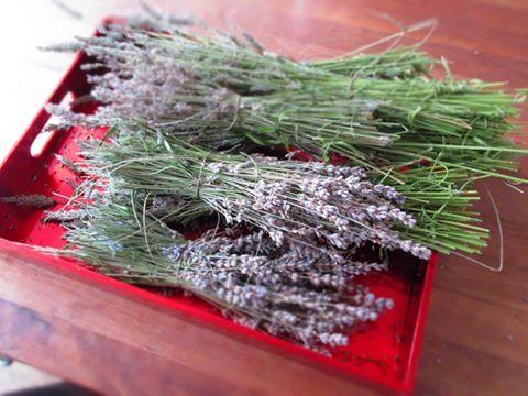 Ernte für Lavendel-Säckchen