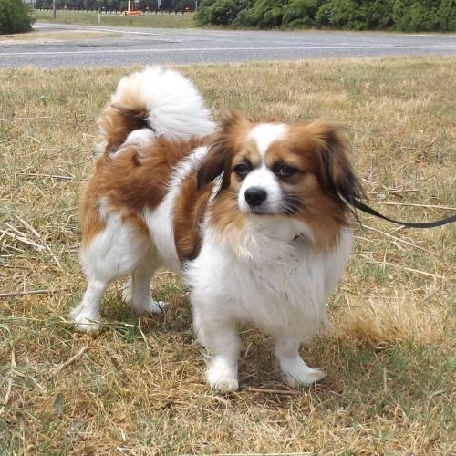 Adopt Alfred On Petfinder Pekingese Mix Pekingese Dogs Cavalier King Charles Spaniel