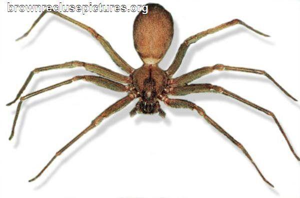 Baby Brown Recluse Spider Symptoms Baby Brown Recluse