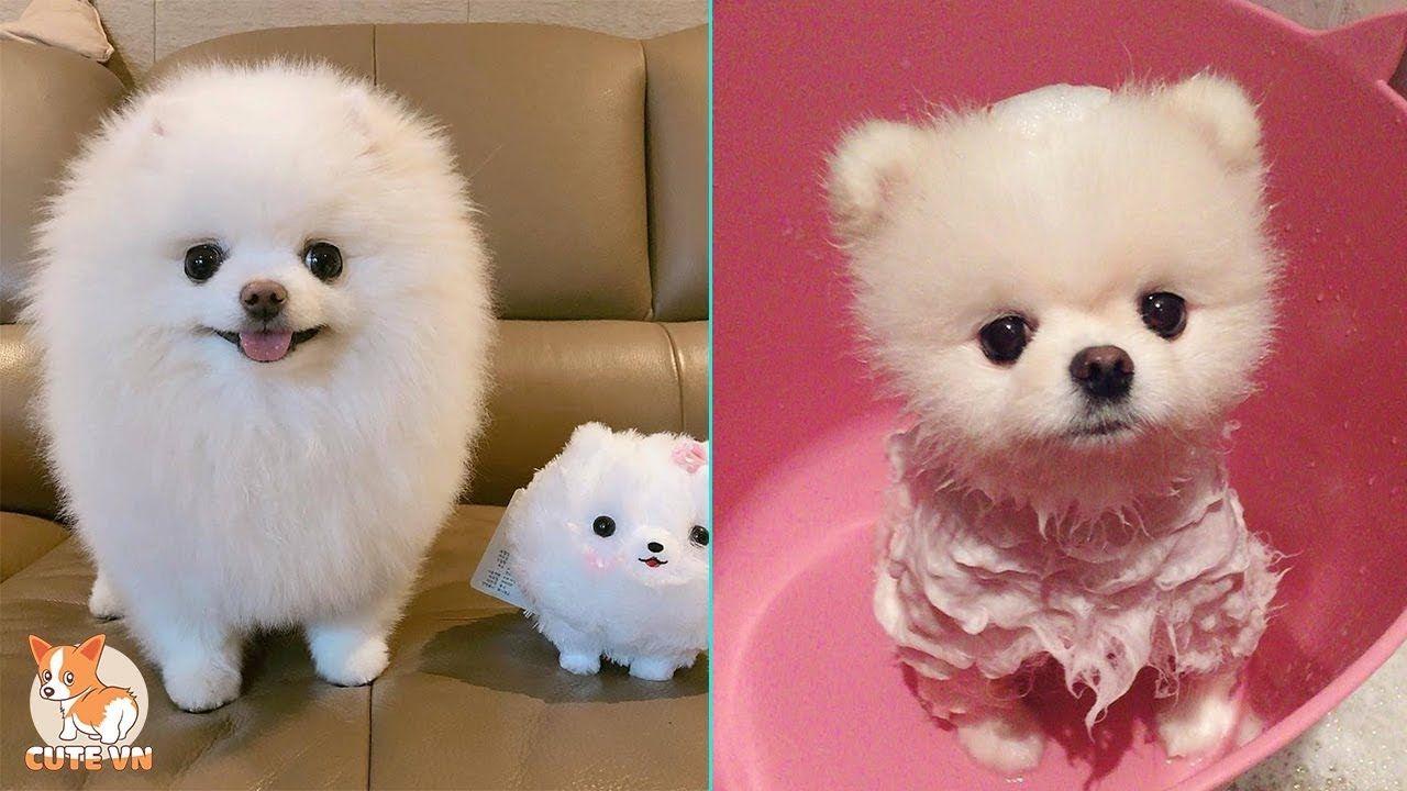 Mini Pomeranian Funny And Cute Pomeranian Videos 4 Cutevn Youtube In 2020 Cute Pomeranian Mini Pomeranian Pomeranian Puppy
