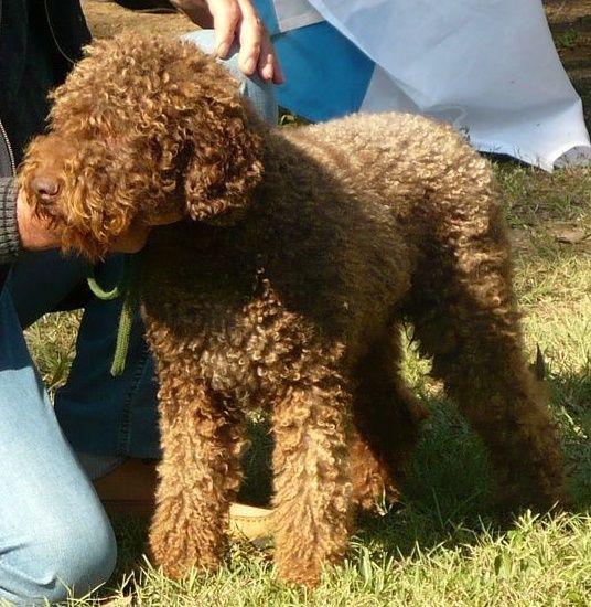 Lagotto Truffle Dogs: Lagotto Romagnolo, Unique Dog Breeds, Dogs