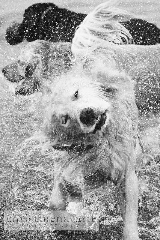 Shake Shake Shake Golden Retriever Dog Beautiful Dog Breeds