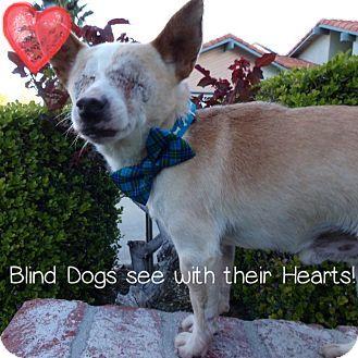 San Diego Ca Chihuahua Mix Meet Lucas A Dog For Adoption Http Www Adoptapet Com Pet 17627439 San Diego California Chihuahua Chihuahua Pet Adoption Pets
