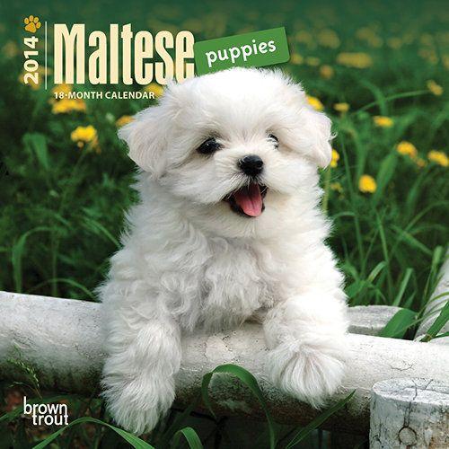 Maltese Puppies Maltese Puppy Puppies Maltese Dogs
