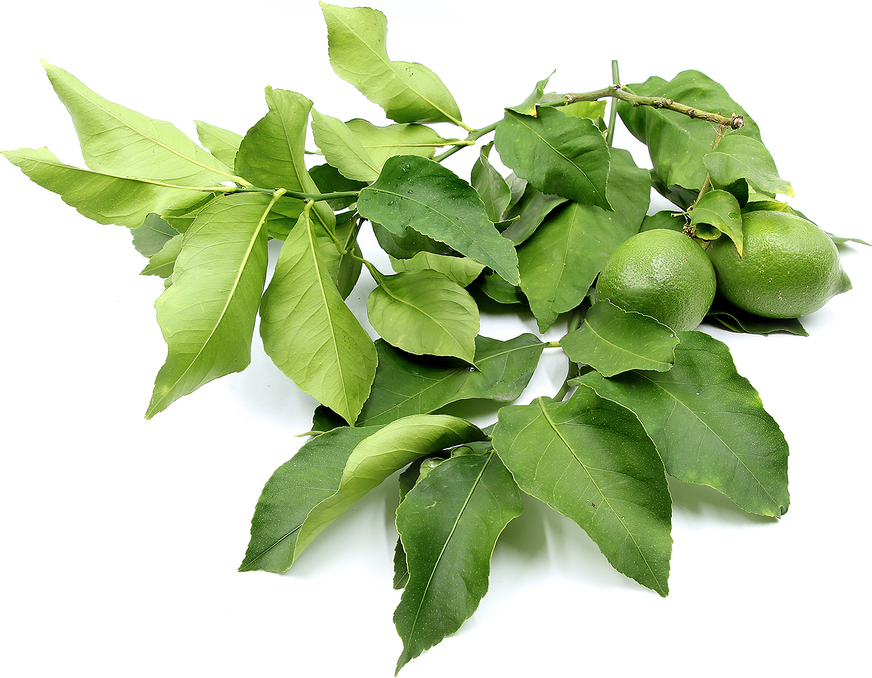 Lemon leaves grow alternately along the branches of lemon trees. The leaves are ovate, oblong and fine toothed, coming to a point on the non-stem end. Lemon leaves...