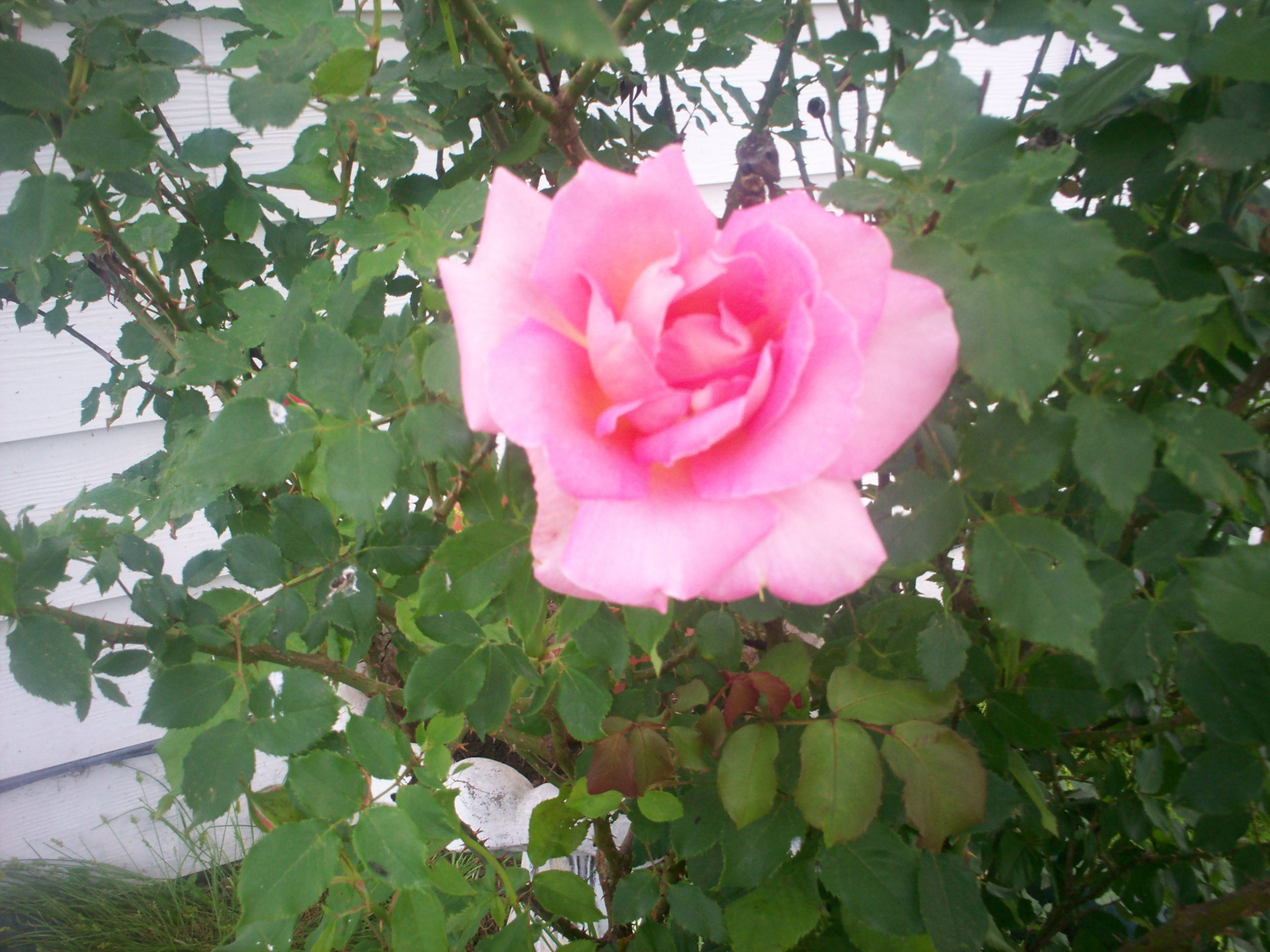 First Bloom Of The Season From Forever Rose Bush