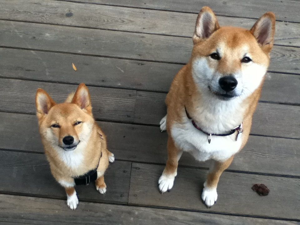 The Mini Or Mame Shiba Inu Facts And Information Cute Animals