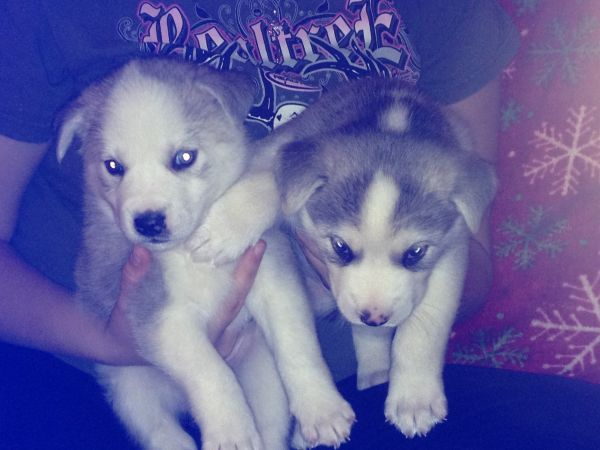 Five Husky Mix Puppies Mom Is Purebred Siberian Husky Dad Unknown 2 Boys 3 Girls 40 00 Rehoming Contact Chris 601 405 1131 Or Becca Husky Dad Pets Animals