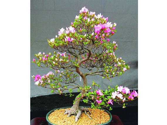 Pin On Amazing Exotic Bonsai Flowers