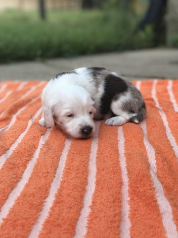 Dachshund Puppy For Sale In Peru Il Adn 34538 On Puppyfinder Com