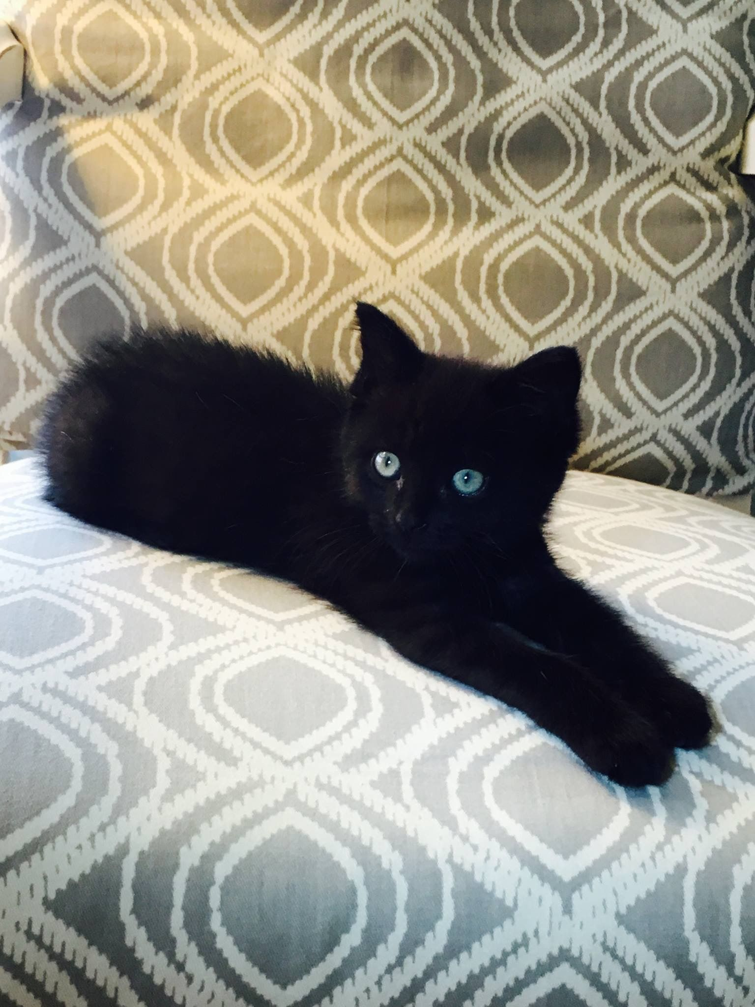 Adorable Cute Black Kitten Gorgeous Cats Crazy Cats