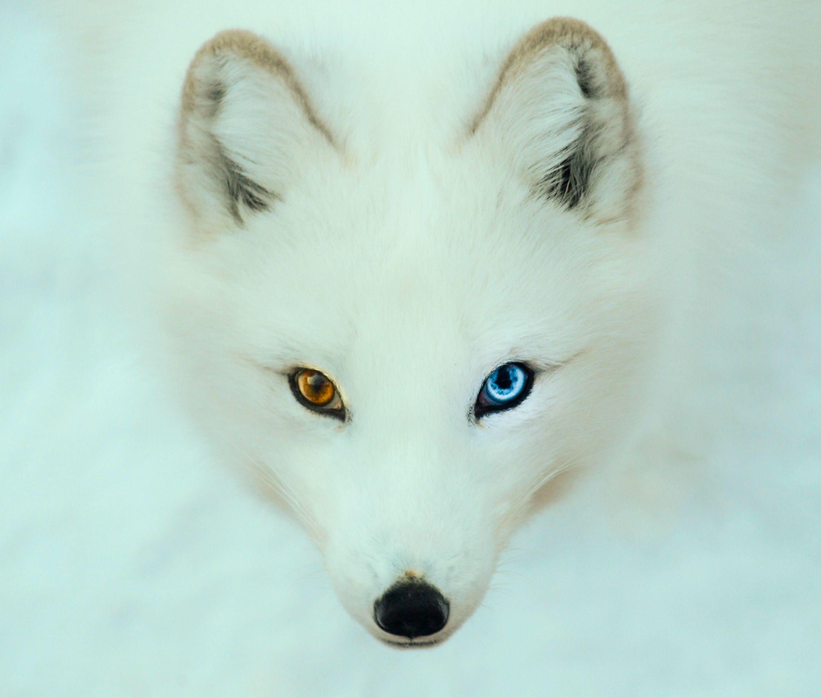 Arctic Fox Google Search Arctic Fox Different Colored
