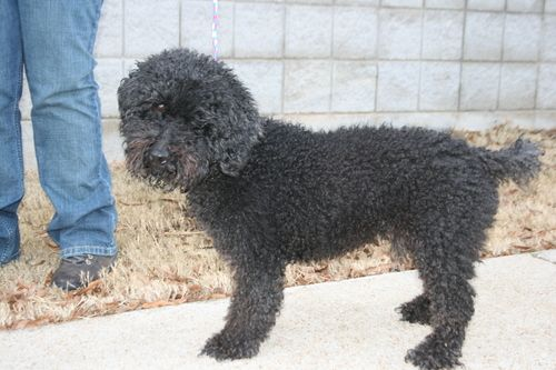 Maurice Poodle Brooklyn Ny Poodle Pets Animal Rescue