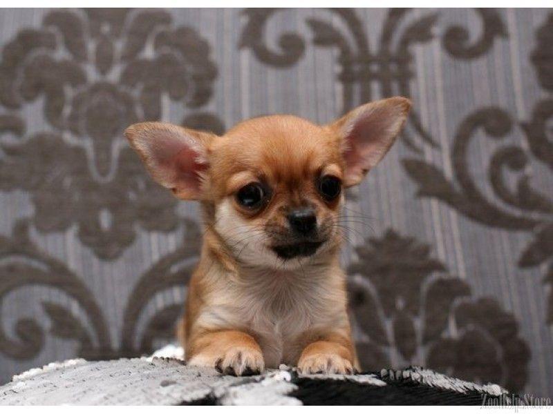 Chihuahua Puppies Southern Maryland Chihuahua Puppies