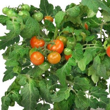 Aerogarden Cherry Tomato Seed Kit 6 7 Pod Indoor 400 x 300