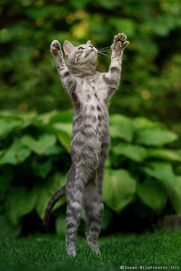~~Let it rain! ~ Grey/blue European short-hair tabby cat by Zoran Milutinovic~~