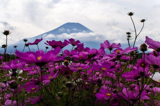 Pemandangan Bunga Cosmos Di Kebun Bunga Hananomiyako Beautiful Flowers Wallpapers Beautiful Flowers Nature Images