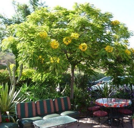 Golden medallion tree cassia leptophylla yellow and purple for Miniature shade trees