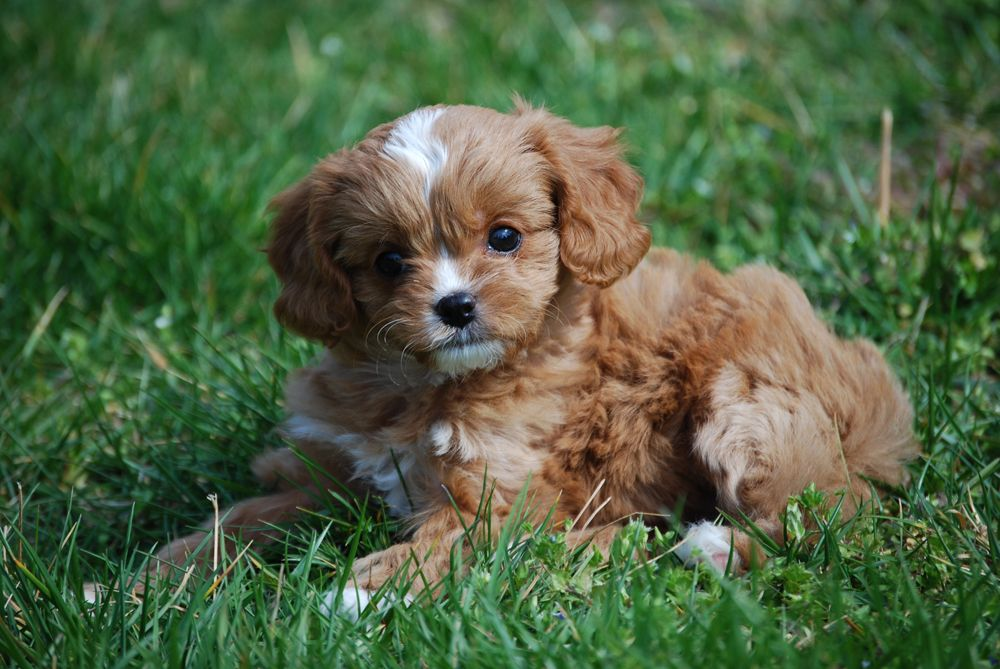 Cavapoos & Cavapoo Puppies For Sale in Tennessee