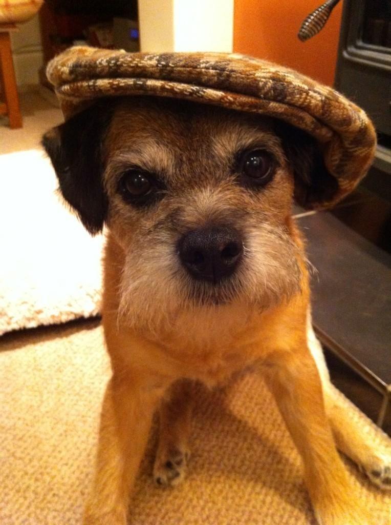 Sir Benson on Border terrier, Animal humour, Brown dog