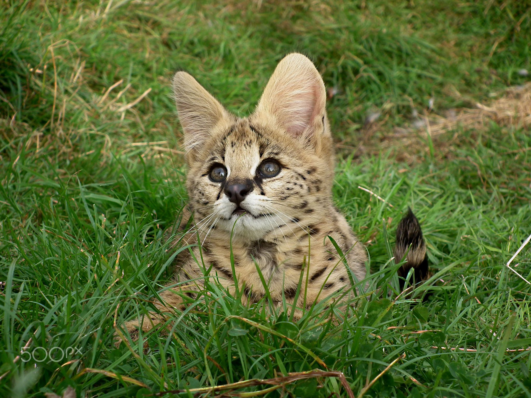 Young Serval Kitten Serval Kitten Serval Serval Cats