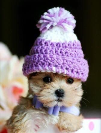 Small Puppy Dog Wearing Hat Cute Teacup Puppies Cute Animals Cute Dogs
