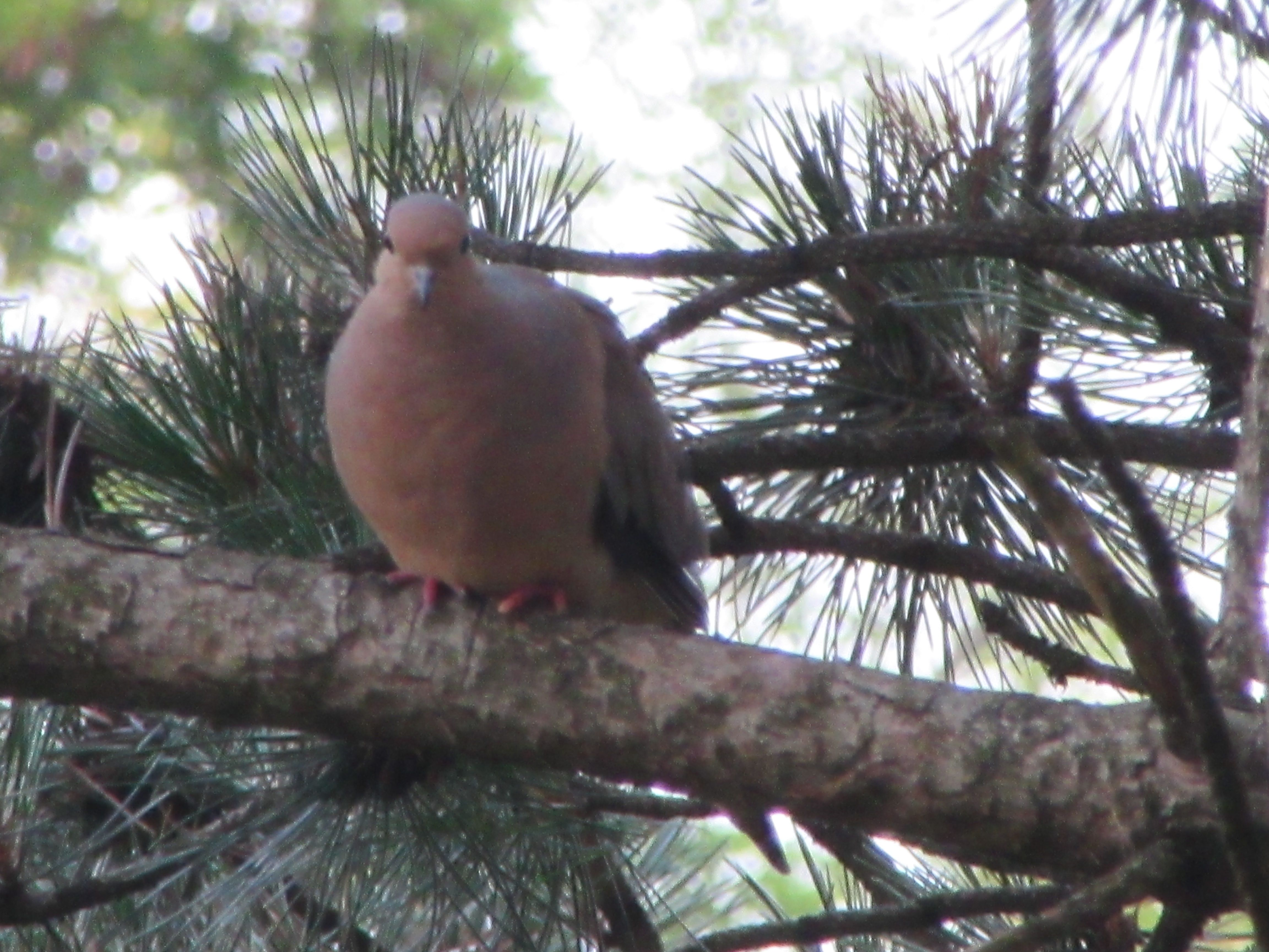this is a pic l took of the dove in a tree