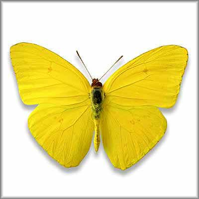 butterfly on yellow color - photo #7