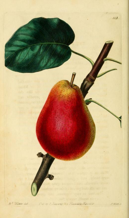 The Forelle Pear - Lindley, John, 1799-1865
