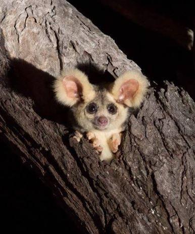 Greater Glider Possum Animals Wild Cute Animals Animals
