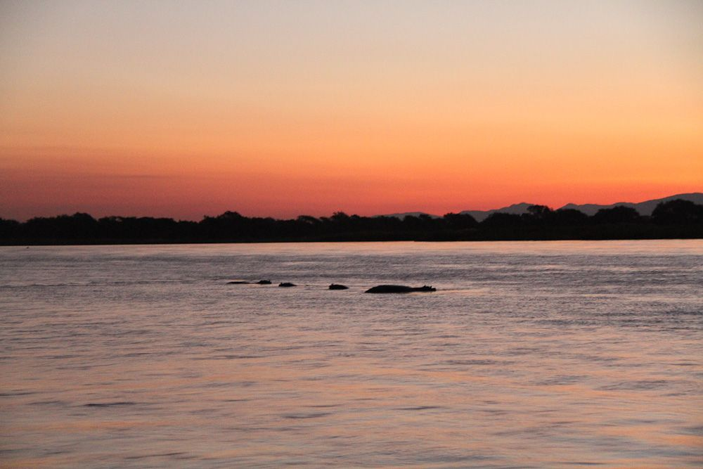 Hippos on the river at sunset
