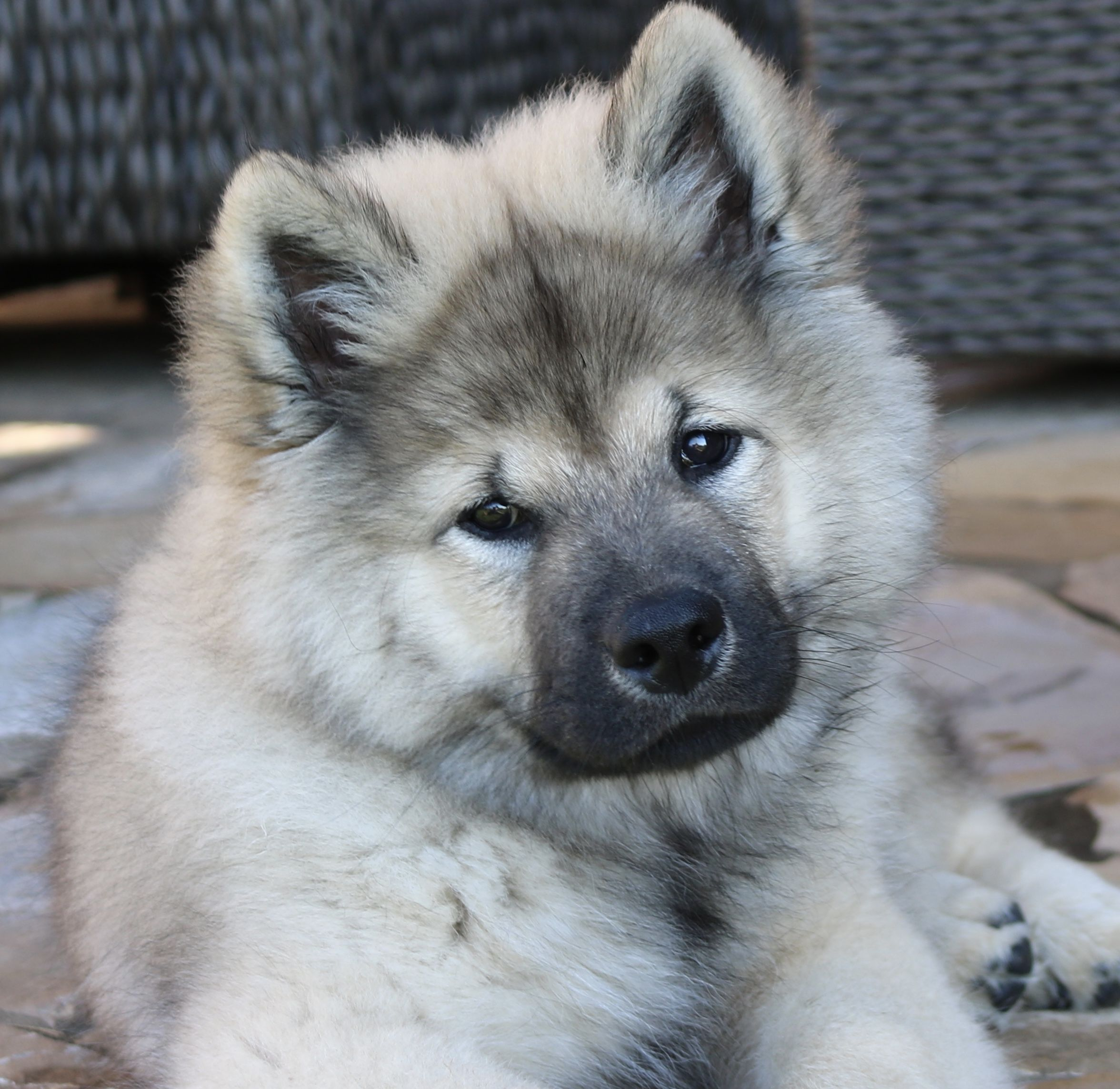 Pin By Heather Carmosino On Eurasier Dogs Cute Dogs Cuddly Animals Dogs