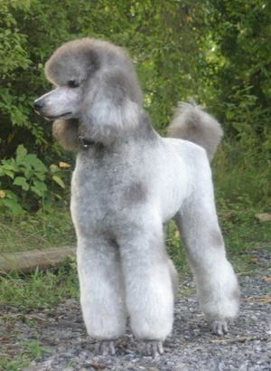 Love Poodles Then Why Not Join Our Dog Cat Lovers Facebook Page