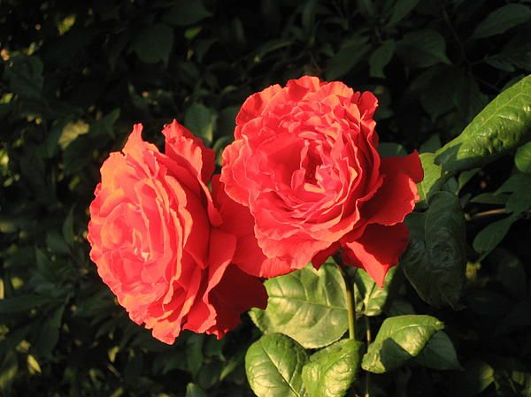 Red Roses in the sunshine