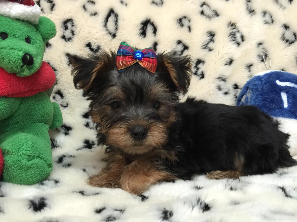 Teacup Yorkie Puppy For Sale In Savannahga Teacup Yorkie