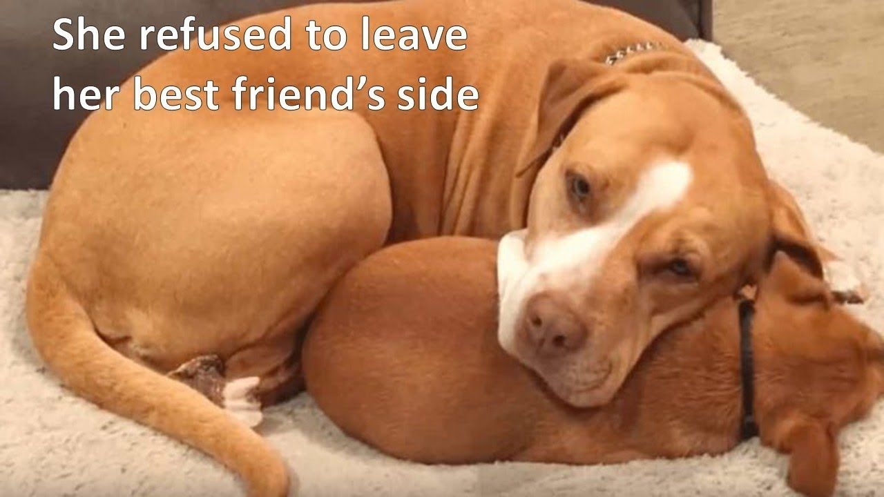 Family Decides To Adopt A Pitbull But She Refuses To Leave The Shelter Without Her Tiny Best Friend Yout The Shelter Pet Project Dog Rescue Stories Pitbulls