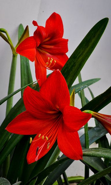 Red Lillies. <3 My favorite.