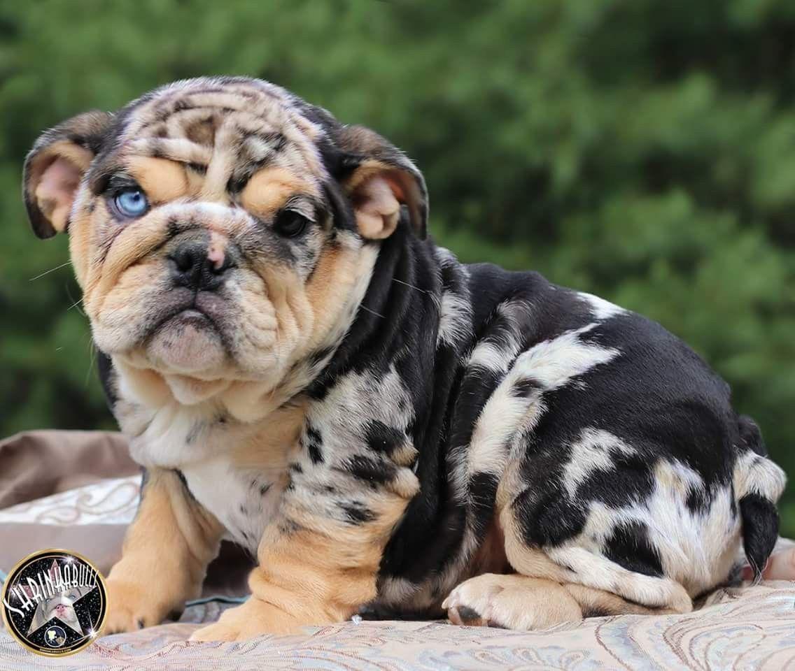 English Bulldog Puppy Bulldog Puppies English Bulldog Puppies Puppies