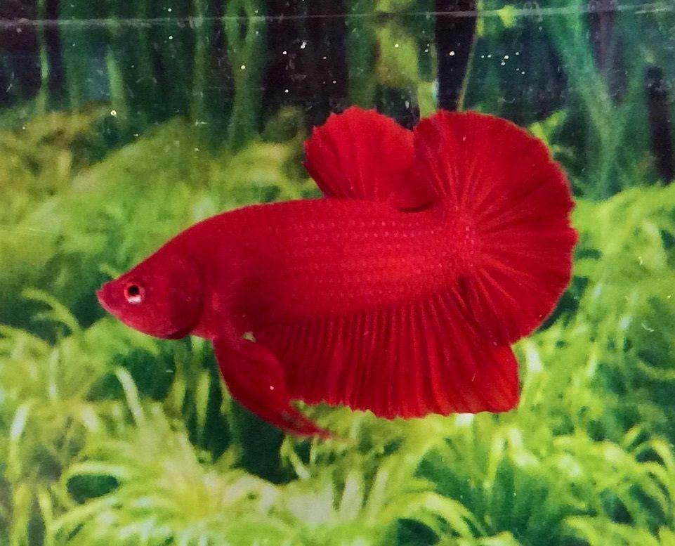 Thai Import Fancy Full Red Male Hmpk Halfmoon Plakat Betta Live Fish Fish Live Fish Betta