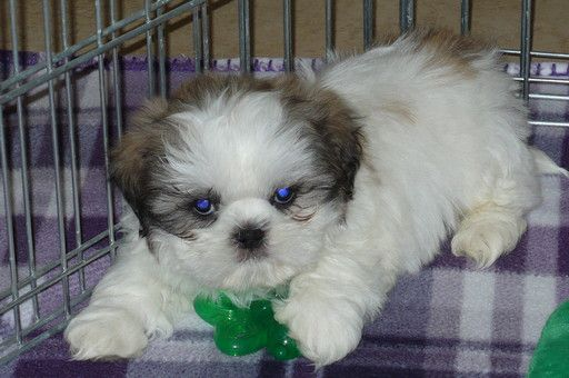 Shih Tzu Puppy For Sale In Tucson Az Adn 26303 On Puppyfinder