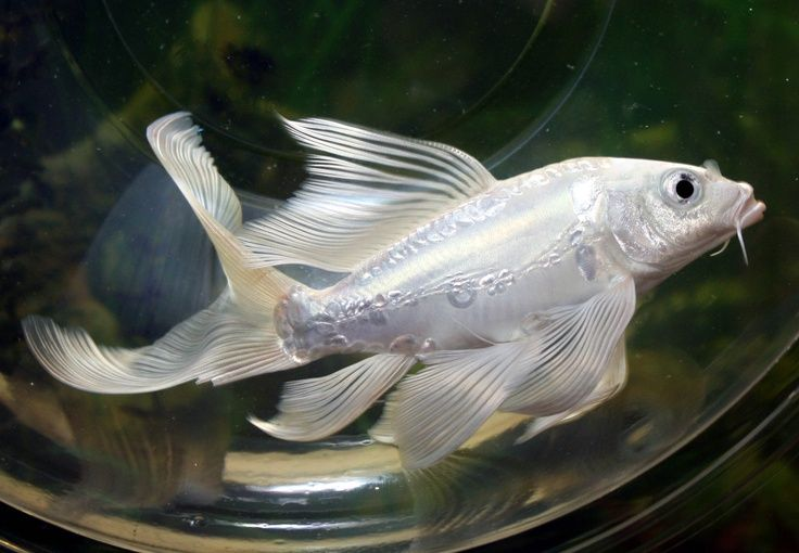 Live koi fish platinum pure white doitsu butterfly long for Butterfly koi fish pictures