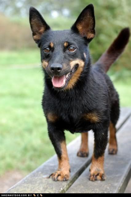 Goggie Ob Teh Week Lancashire Wins Lancashire Heeler Dog